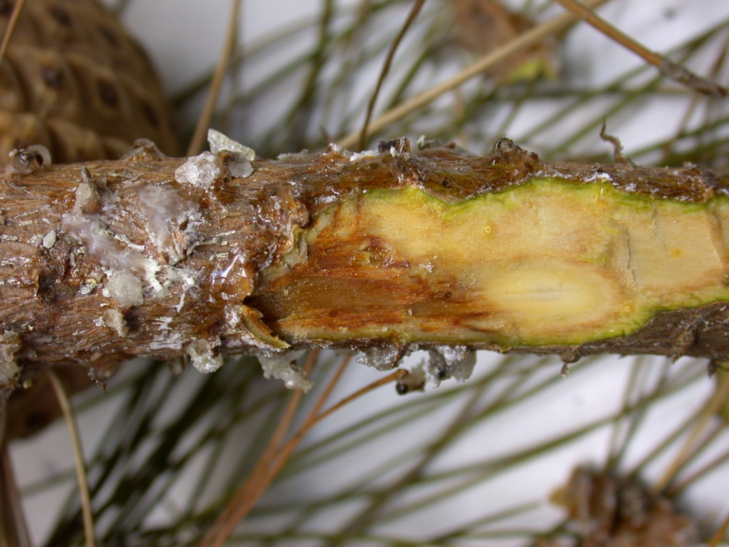example of pitch pine canker