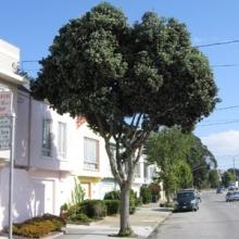 Street Tree Planting